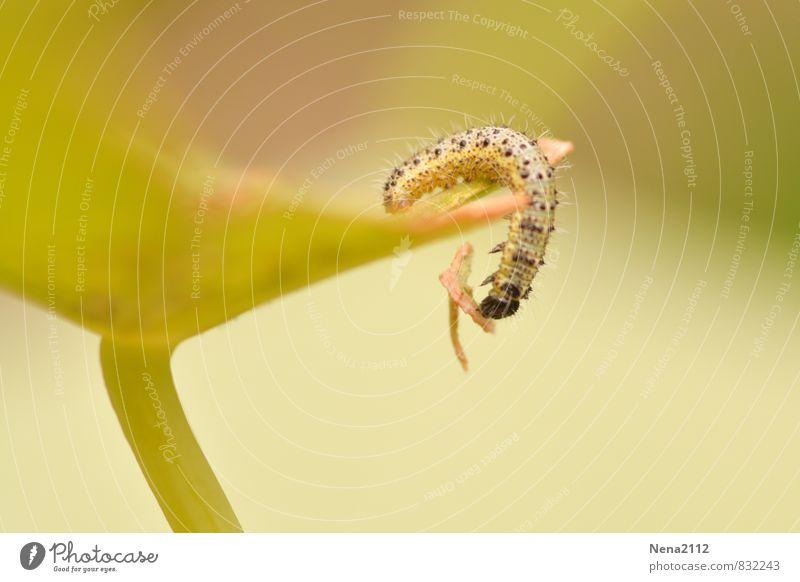 Fangen Umwelt Natur Pflanze Tier Luft Sommer Blatt Garten Park Wiese Feld 1 klein lang stachelig gelb Raupe Schmetterling Nahrungssuche Tausendfüßler Farbfoto
