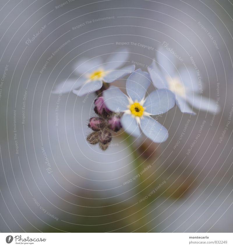 frischlinge Natur blau Pflanze Sommer Blatt Umwelt Blüte natürlich klein wild authentisch einfach weich dünn nah