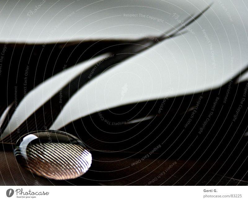 Liebesperle, fett Lupeneffekt Wassertropfen kleben Oberflächenspannung filigran braun durchsichtig hydrophob rund Feder Makroaufnahme Murmel Konzentration Kunst