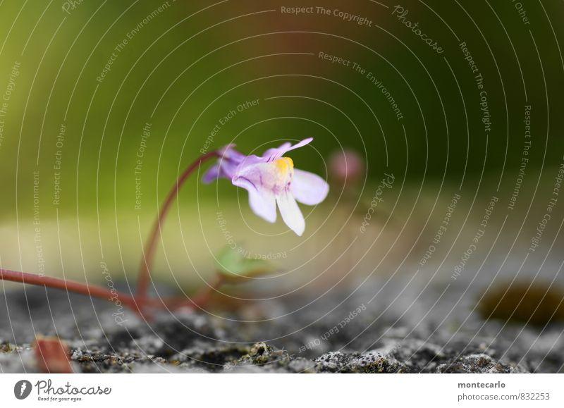 alone Umwelt Natur Pflanze Blatt Blüte Grünpflanze Wildpflanze ästhetisch dünn authentisch einfach frisch klein nah natürlich weich violett Farbfoto mehrfarbig