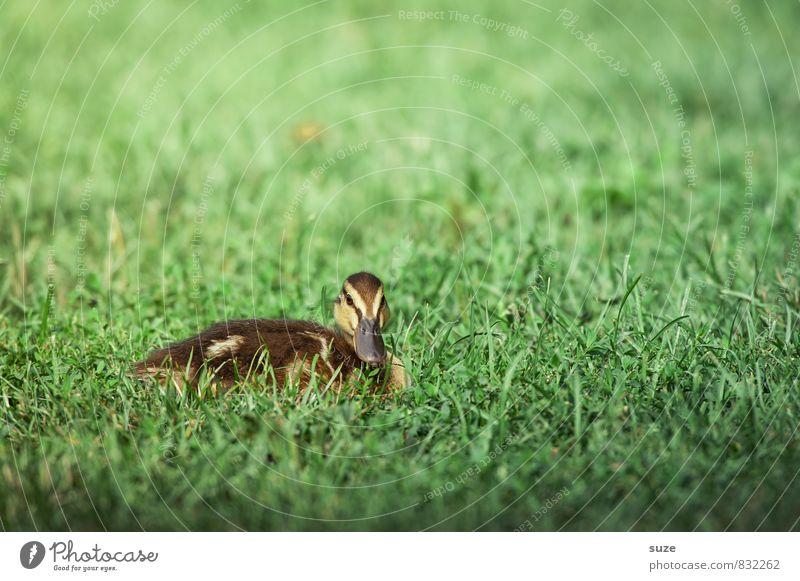 Quak im Schaufenster Natur grün Sommer Tier Umwelt Tierjunges Wiese Gras Frühling natürlich klein Vogel liegen Wetter Wildtier authentisch