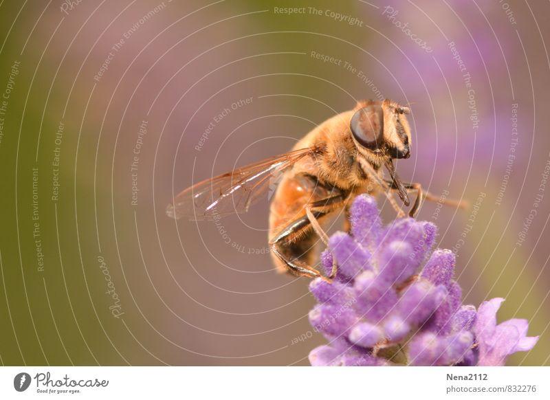 Hochsitz Umwelt Natur Pflanze Tier Luft Frühling Sommer Schönes Wetter Blume Blüte Nutzpflanze Wildpflanze Topfpflanze Garten Park Wiese violett Biene Lavendel
