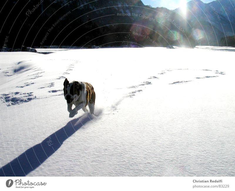 Sprint Intuition Hund Schneelandschaft Wetter 100 Meter Lauf Winter Pulverschnee Waldrand kalt Eis Freude Tier snowclad landscape Bernhardiner Kehre Hunde atake