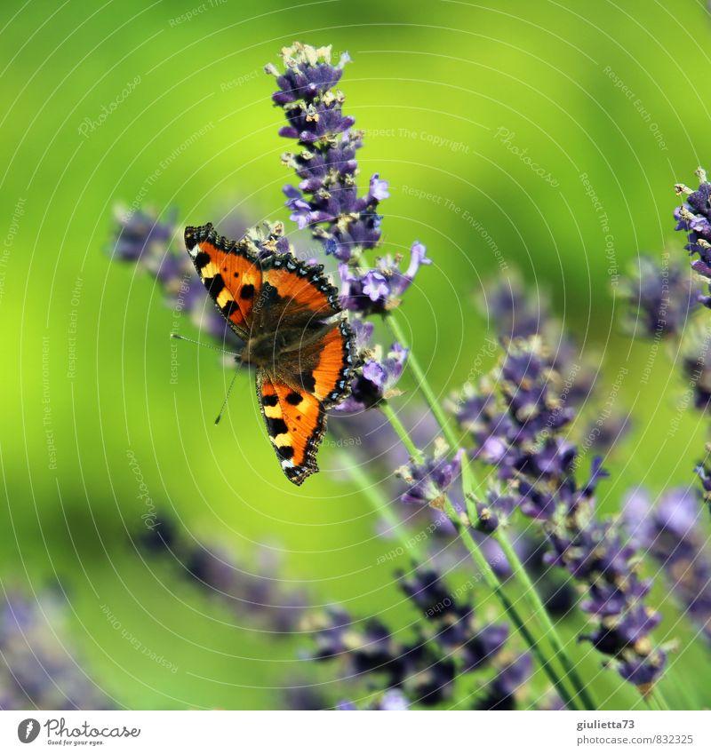 Kleiner Fuchs auf Lavendel Natur Pflanze schön grün Sommer Sonne Tier Wiese Blüte Glück Garten orange Zufriedenheit Fröhlichkeit Schönes Wetter beobachten
