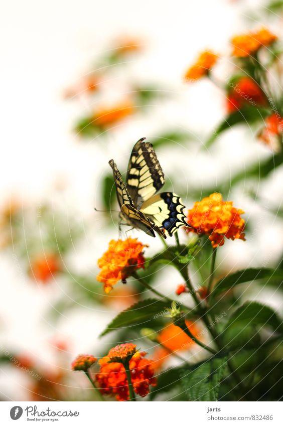 beauty Natur Pflanze schön Sommer Tier Frühling natürlich Garten Park elegant Wildtier Schönes Wetter Schmetterling exotisch Schwalbenschwanz