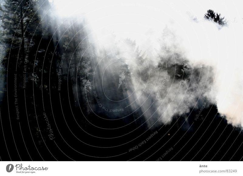 red sycamore Wald Nebel geheimnisvoll Trauer Sonnenstrahlen schwarz Tanne Märchenwald Traurigkeit Rauch Kontrast spukhaft