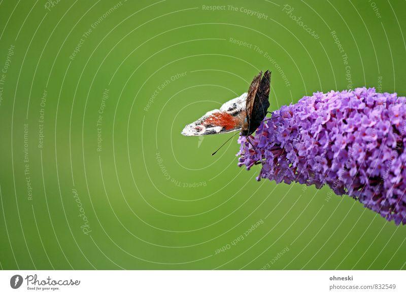 Am Abgrund Blüte Schmetterlingsblütler Tier Insekt Tagpfauenauge 1 frisch grün violett Idylle Leben Natur Farbfoto mehrfarbig Außenaufnahme Textfreiraum links
