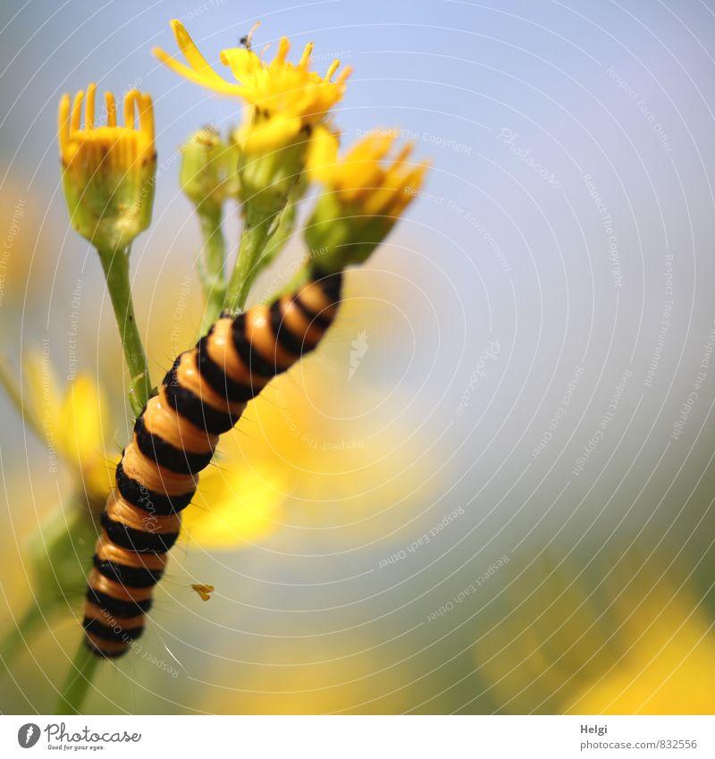 Nimmersatt... Umwelt Natur Pflanze Tier Himmel Sommer Schönes Wetter Blume Blüte Wildpflanze Wiese Wildtier Raupe Blutbär 1 Blühend Fressen Wachstum ästhetisch