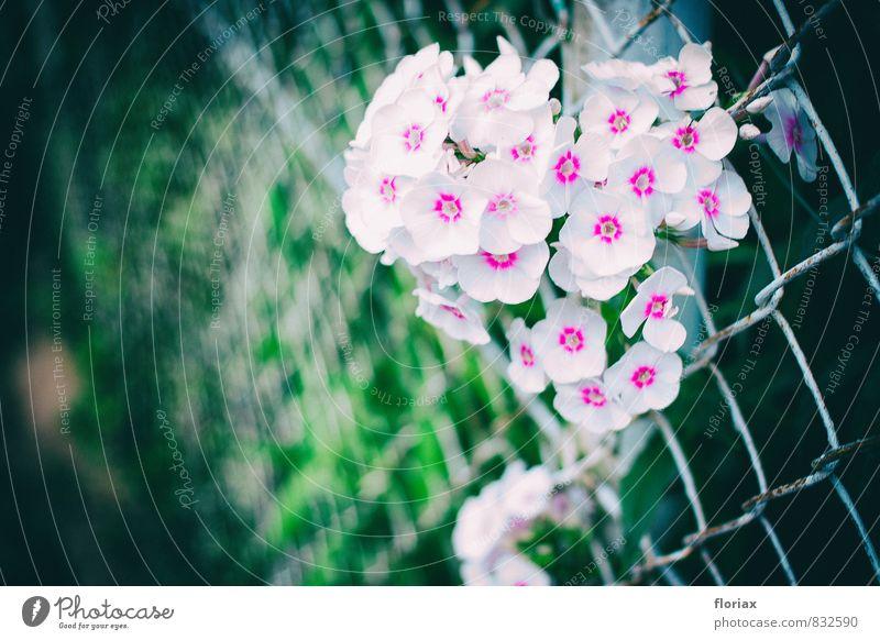 das hässliche durchwachsen. Natur Pflanze grün weiß Sommer Blume Umwelt Wand Leben Gefühle Mauer Glück Garten Stimmung rosa Park