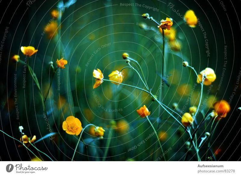 Hast du eine Mutter, hast du immer Butter (-blumen) Blume grün blau Pflanze gelb dunkel kalt Trauer Coolness Sträucher Löwenzahn Verzweiflung Tiefenschärfe