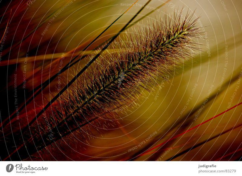 Gras schön Physik weich zart leicht Halm Sommer Herbst Grünfläche Wiese grün federartig Umwelt Stengel rispen Natur Pollen Wärme warme jahreszeit Schönes Wetter