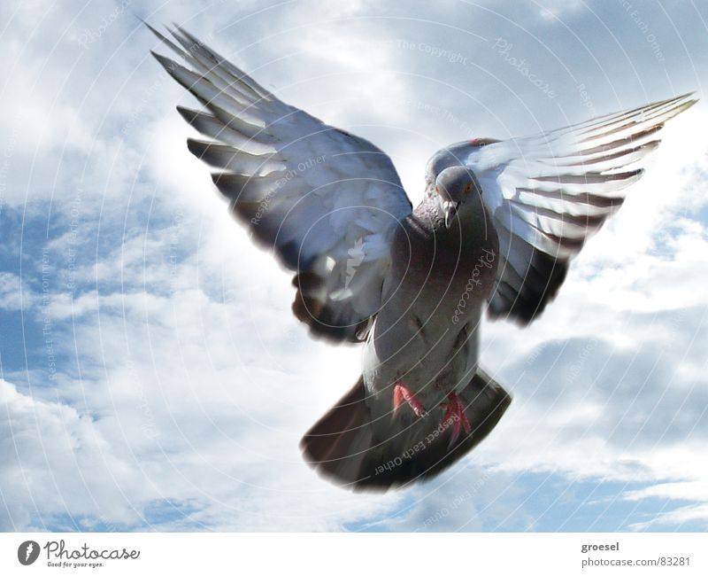 taube in venedig Wolken Vogel Luftverkehr Frieden Feder Flügel Flugzeuglandung Italien Taube Venedig Tier