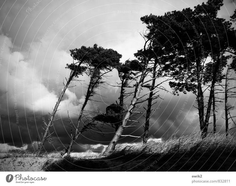 Westwind Umwelt Natur Landschaft Pflanze Himmel Wolken Horizont Klima Wetter Unwetter Wind Sturm Gewitter Baum Wildpflanze Ast Windflüchter Kiefer Strand Ostsee