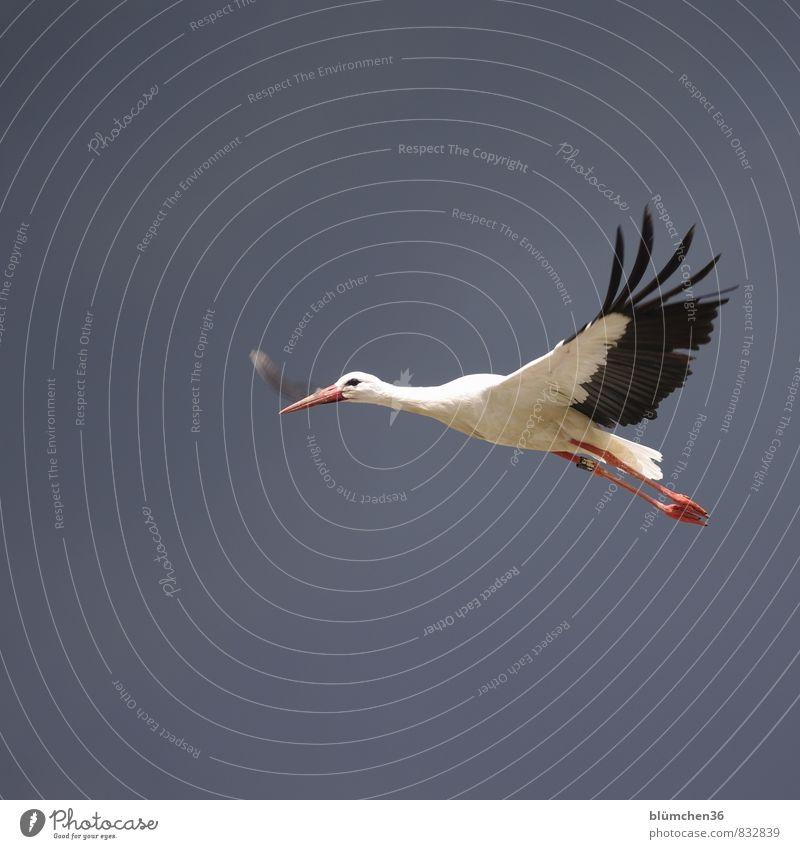 federleicht Tier Wildtier Vogel Storch Weißstorch Schreitvögel fliegen tragen ästhetisch elegant schön natürlich rot schwarz weiß Schnabel Feder Körperhaltung