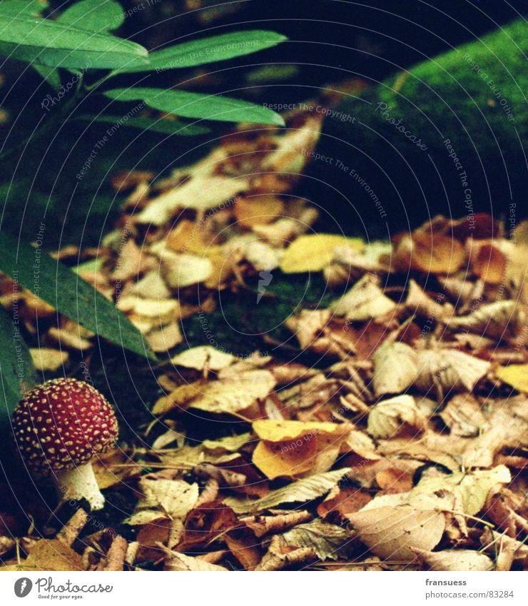 little red riding hood Fliegenpilz erdig Herbst Blatt Friedhof Baum Pflanze Sträucher unheimlich Einsamkeit Gift rot grün Erde Pilz Stein Bodenbelag
