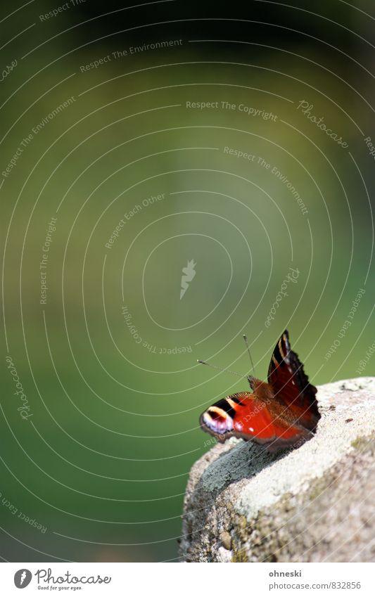 Startphase Tier Garten Schmetterling Tagpfauenauge Insekt 1 mehrfarbig grün rot Idylle Farbfoto Außenaufnahme Textfreiraum links Textfreiraum oben