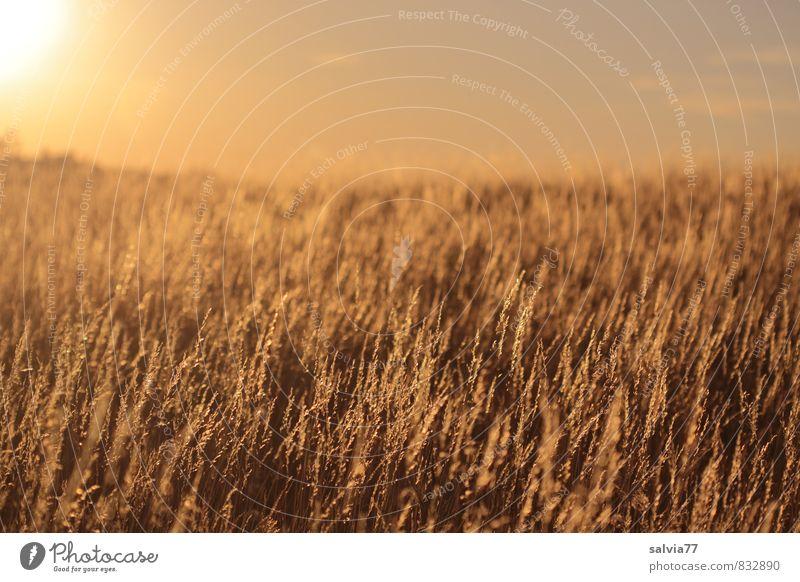 Abendstimmung Sommer Sommerurlaub Sonne Natur Landschaft Pflanze Klimawandel Schönes Wetter Wärme Dürre Gras Wiese verblüht dehydrieren braun gold Stimmung