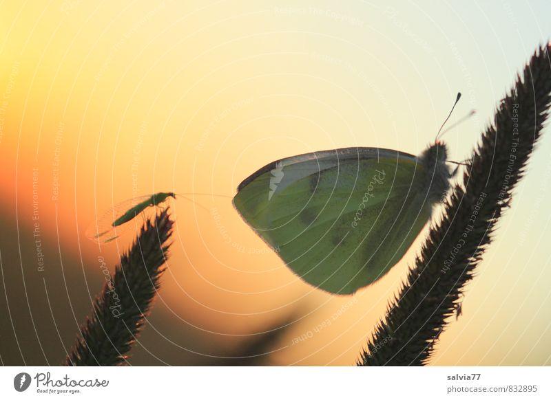 Feierabend ruhig Sommer Natur Tier Sonnenaufgang Sonnenuntergang Gras Wildtier Fliege Schmetterling Flügel 2 schlafen Zusammensein Erholung Gelassenheit