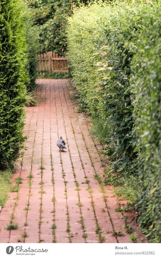 FußGänger Sommer Hecke Wege & Pfade Taube 1 Tier gehen Einsamkeit Pflastersteine Backstein zielstrebig Farbfoto Außenaufnahme Menschenleer