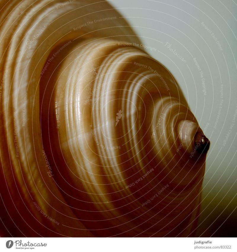 Heim Schneckenhaus Muschel Meer braun gelb schwarz Haus Geborgenheit Spirale gedreht Garnspulen harmonisch ruhig Tonnenschnecke Atlantik beige orange Strand