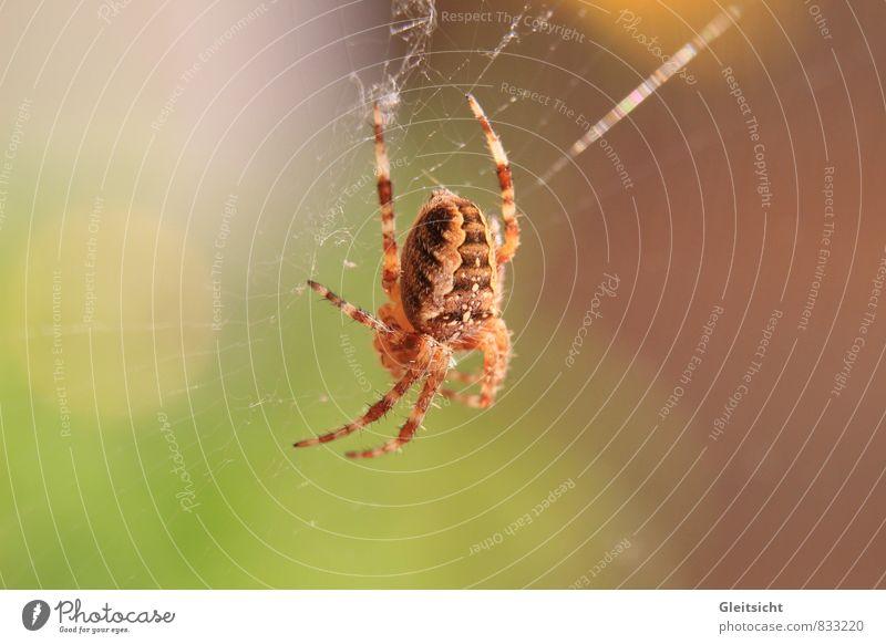 ich habe Zeit... Natur Pflanze Tier Schönes Wetter Wildtier Spinne Kreuzspinne 1 Fressen hängen Jagd warten bedrohlich gruselig braun mehrfarbig gelb gold grün