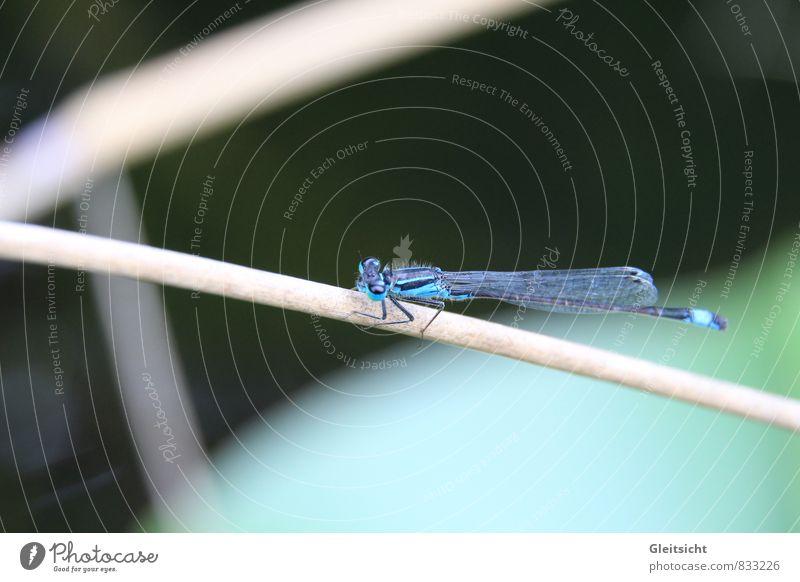 ganz schön rund, dieser Halm... Natur blau Pflanze grün Sommer Tier schwarz Gras braun Wildtier Schilfrohr Teich Sumpf Wildpflanze Moor Libelle
