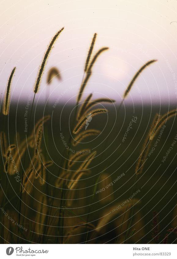 Gräs Gras Hälfte Halm Sonnenuntergang Dämmerung Horizont Romantik grün Morgen Rasen Grünfläche Grasland Wildnis Abend Wiese Natur Morgendämmerung Weide