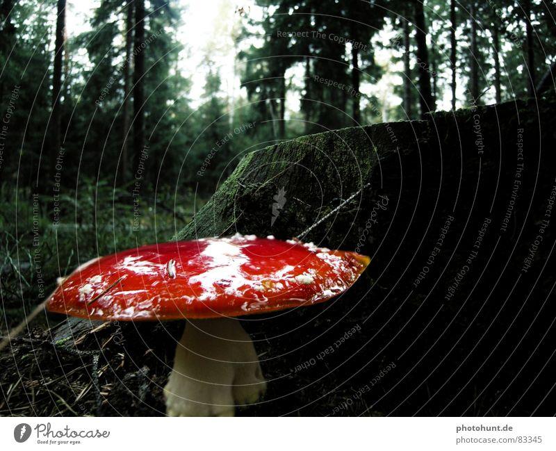 Toadstool Wald dunkel Holz geheimnisvoll Gift Vorsicht Waldboden Holzmehl Baumstumpf