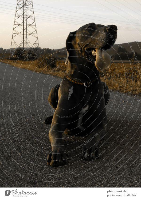 Maroo Hund groß Macht Haustier Säugetier Zunge Dogge