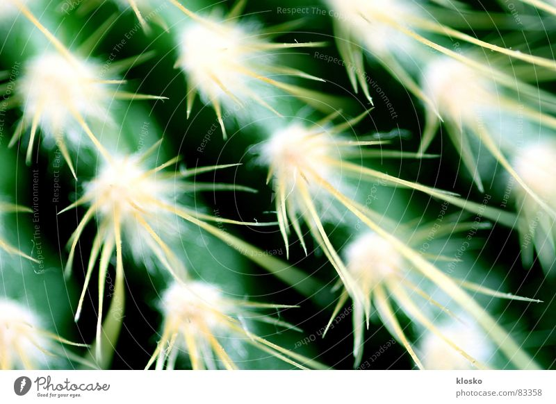 Kaktus Wallpaper Hintergrundbild grün Pflanze Topf Gärtner Muster Garten Kriechpflanze Gift Präzedenzfall Botanik Pflanzenteile Wüste Stachel Gartenbau