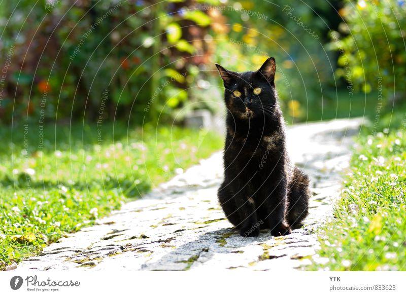 Bokehmonster Katze Natur Pflanze grün Landschaft Tier Umwelt Gras Wege & Pfade Garten glänzend Wetter elegant Zufriedenheit Sträucher warten
