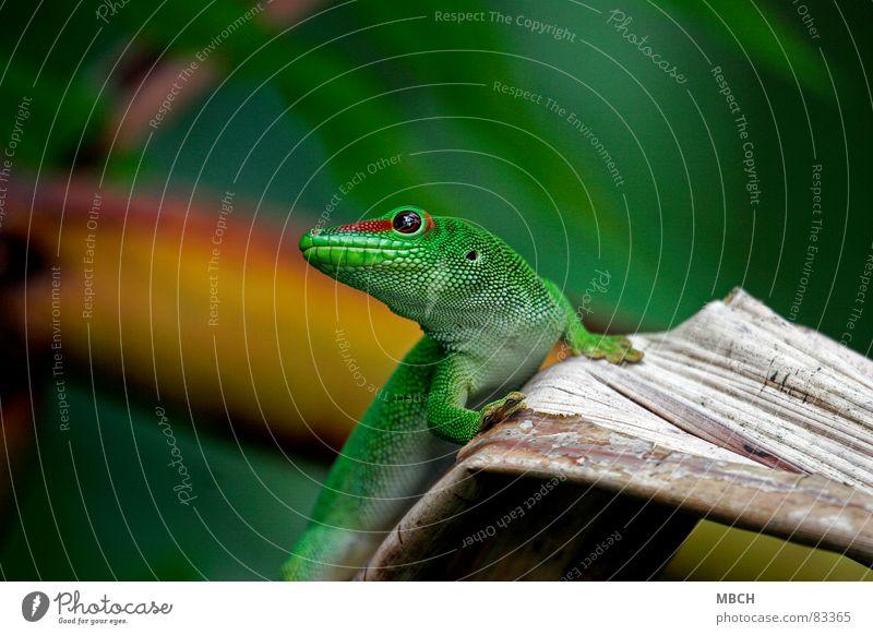 Bin ich nicht schön? grün rot Tier Auge braun Nase nah Scheune Schnauze Maul Nasenloch Gecko Echsen Reptil Madagaskar