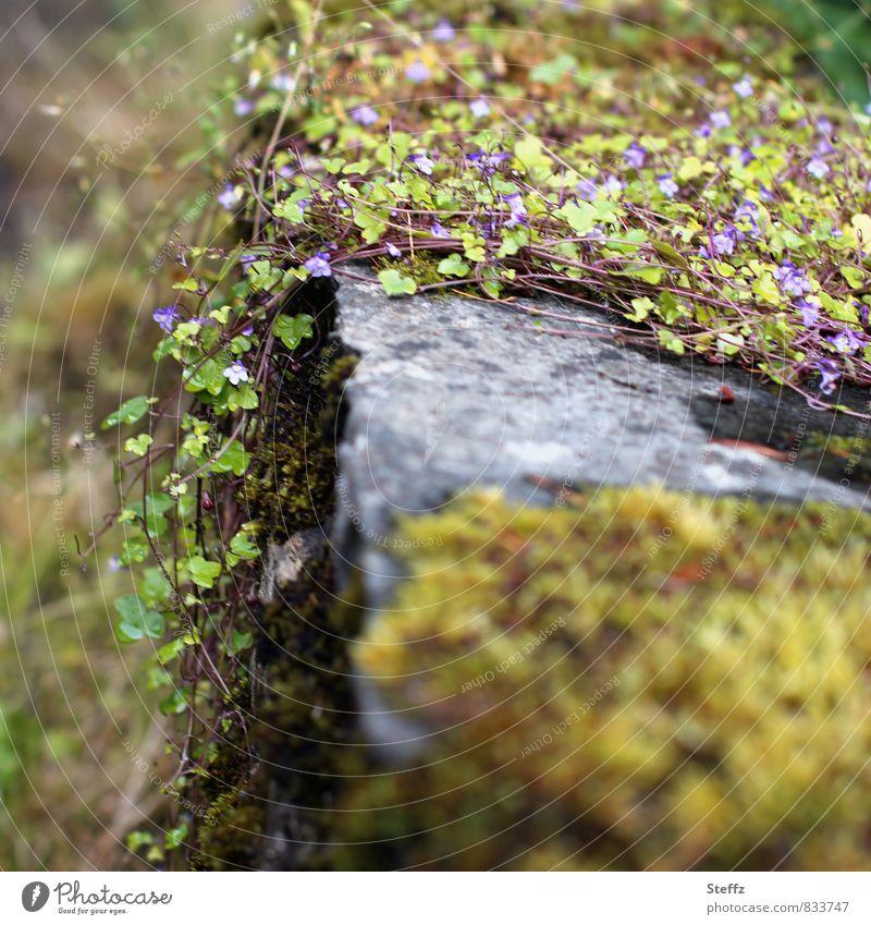 Mauerblümchen und Moos wachsen über alte Mauer Wildblumen nordisch nordische Natur altmodisch nordische Wildpflanzen nordische Romantik üppig Mauermoos