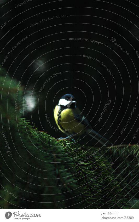 Piepmatz Natur Winter Tier Vogel Tanne Spatz