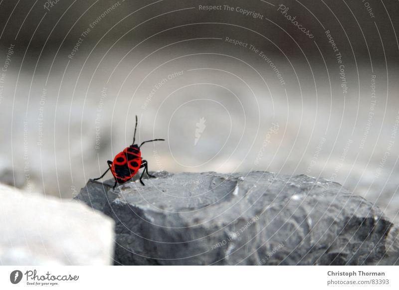 Auf der Mauer, auf der Lauer... Wanze Insekt Schiffsbug Bruchstein zögern Feuerwanze Tier krabbeln Fühler gepunktet Natur Umwelt grau rot schwarz klein winzig