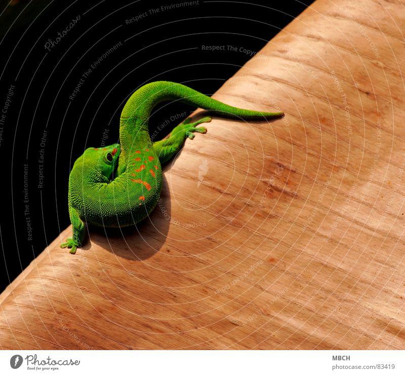 Körper Pflege grün schön rot Tier Auge braun Nase nah Scheune Schnauze Maul Reptil Nasenloch Gecko Afrika Madagaskar
