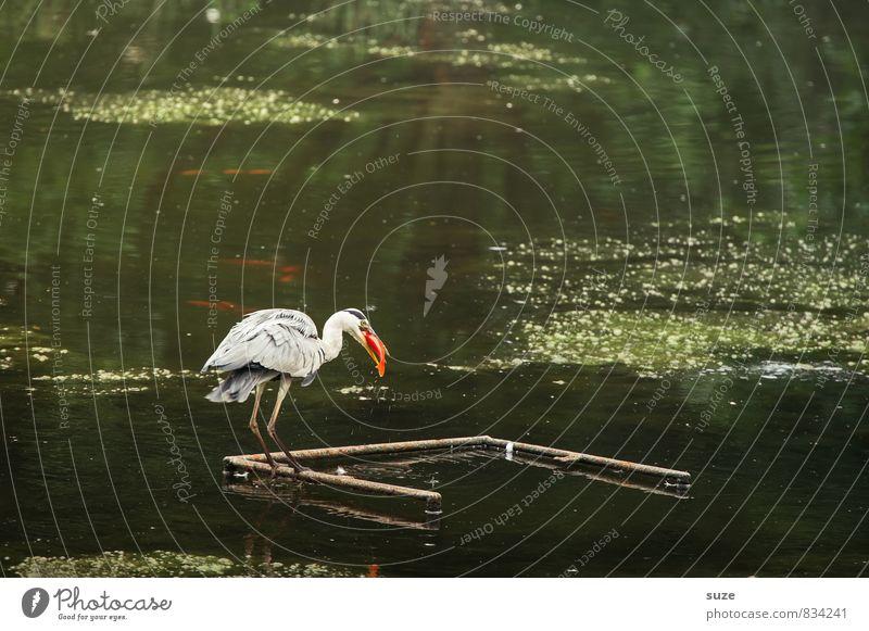 Goldfischreiher Umwelt Natur Landschaft Wasser Teich See Tier Wildtier Vogel 1 Fressen authentisch fantastisch natürlich Reiher Fisch Graureiher Feder tierisch