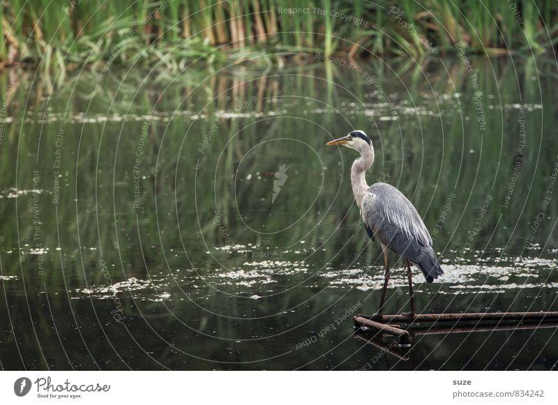 Herr Strese und das Glück Natur grün Wasser Landschaft Tier Umwelt natürlich See Vogel wild Wildtier authentisch stehen warten ästhetisch Feder