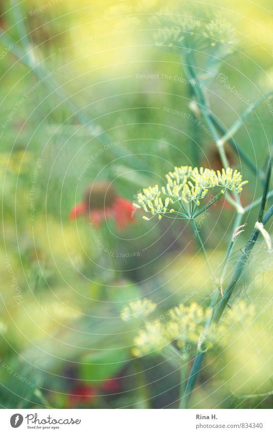 SommerGarten Pflanze Blume hell Blühend Fenchel