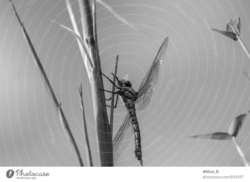 Farblose Schönheit Natur Pflanze Tier Garten Wildtier Flügel Libelle Insekt 1 glänzend schön grau schwarz silber Sechsfüßler Fluginsekt Flügelwesen