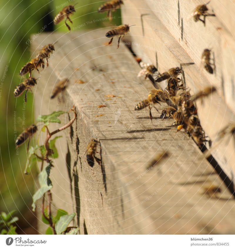 Eine große Familie Tier Nutztier Biene Honigbiene Insekt Schwarm fliegen tragen ästhetisch klein schön Arbeit & Erwerbstätigkeit Tierliebe Tierlaute