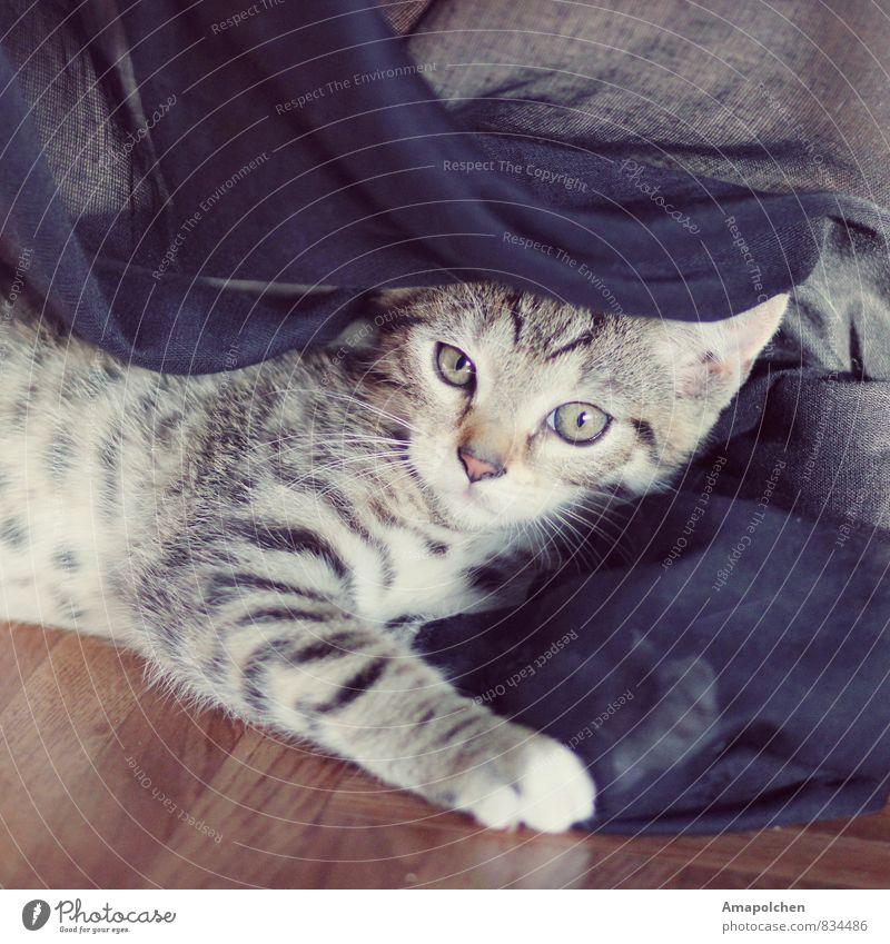 ::14-26:: Katze Tier Tierjunges Wohnung Schutz Sicherheit Fell Vertrauen Tiergesicht Haustier Hauskatze Geborgenheit Gardine Decke Pfote Krallen