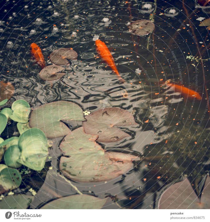 kost.bar | goldfische Natur Urelemente Wasser Sommer Pflanze Blatt Wellen Teich Tier Fisch 3 Fressen füttern genießen Schwimmen & Baden Fischfutter Goldfisch