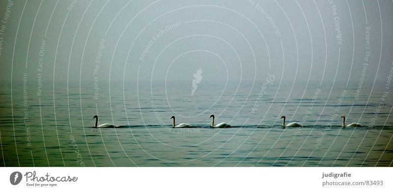 Fünf Schwäne See Meer Vogel Schwan ruhig 5 Ornithologie Umwelt Nebel Wildnis Gelassenheit schön Ostsee Wasser Reihe Himmel Natur trübung gemütsruhe