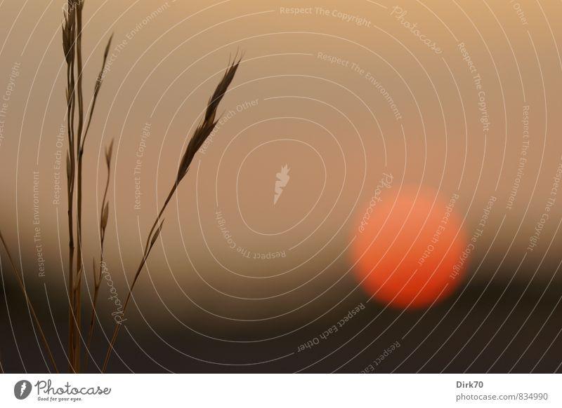 Ruhiger, warmer Sommerabend Pflanze Sonne rot ruhig schwarz Wärme Wiese Gras Zeit Garten braun orange Zufriedenheit leuchten Schönes Wetter