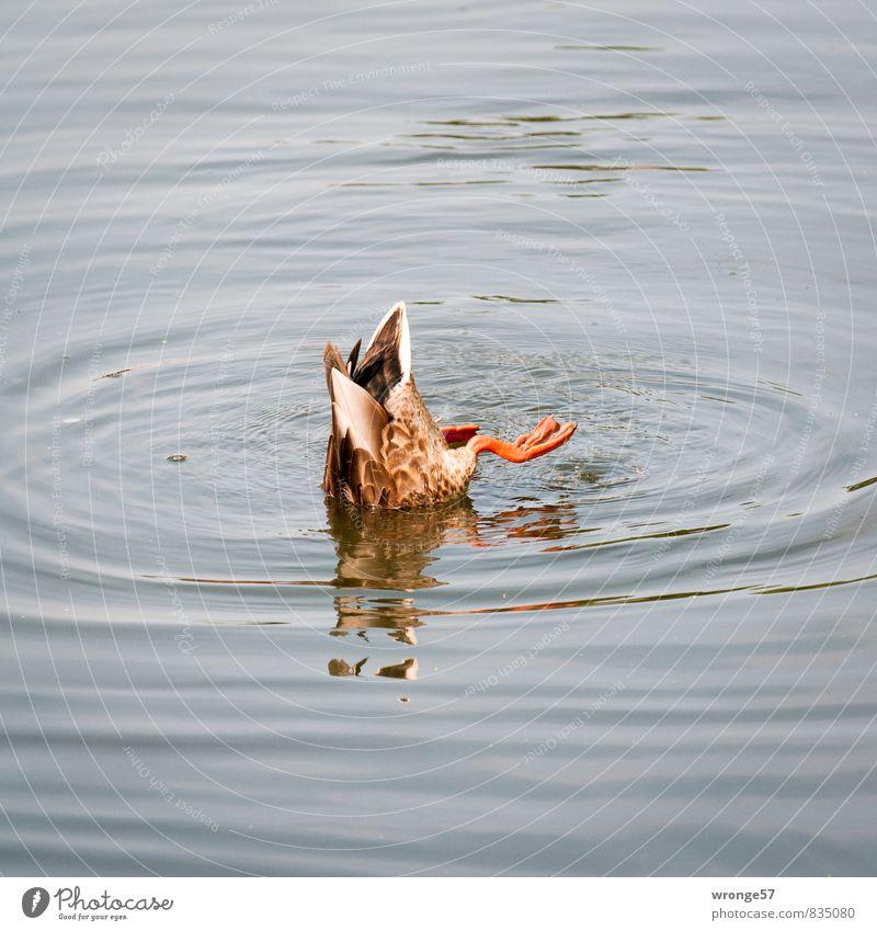 Verlockung | Halbe Ente Tier Wildtier 1 Fressen Schwimmen & Baden tauchen blau braun Wasser Kopfüber Reflexion & Spiegelung Farbfoto Gedeckte Farben