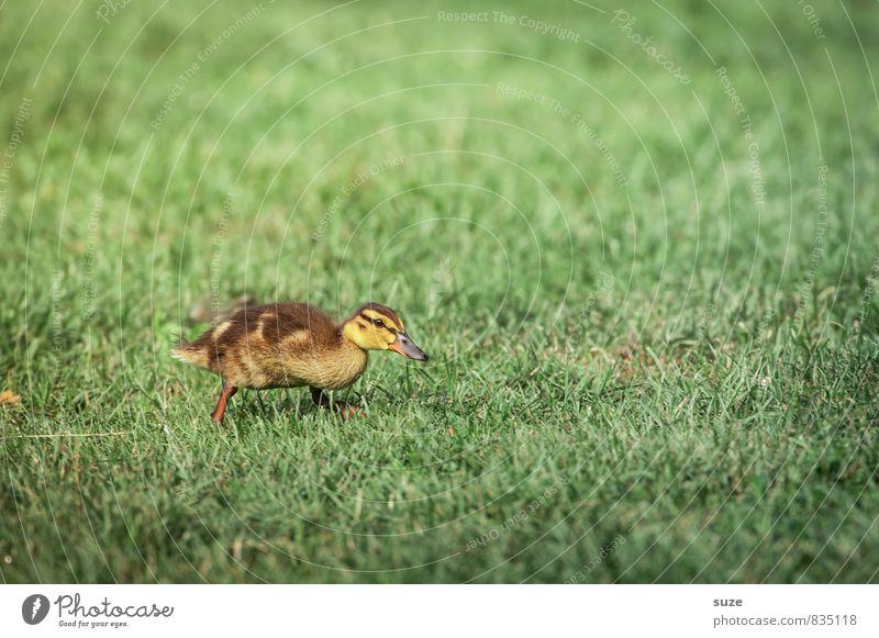 Im Entenmarsch voran ... Natur grün Sommer Freude Tier gelb Tierjunges Gefühle Wiese Gras Frühling Glück klein Wildtier Lebensfreude niedlich