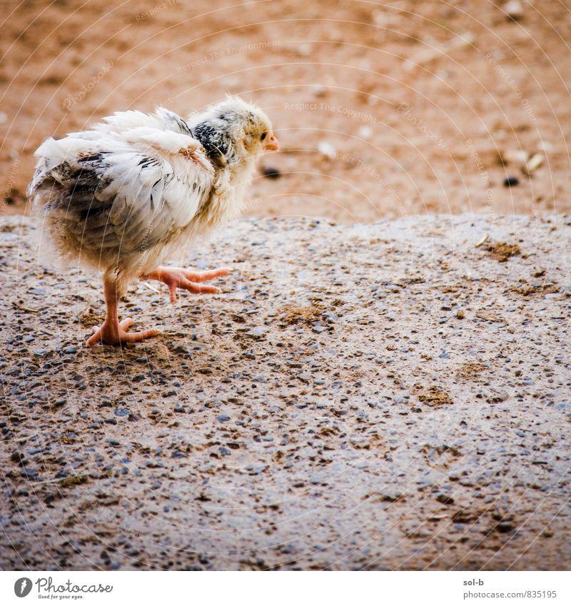 Tier Wärme Frühling Vogel laufen frisch Beginn niedlich weich Neugier neu nah Vorsicht Nutztier Tierliebe Küken