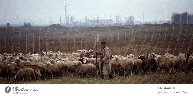 Der Schäfer und die Globalisierung Schaf Gegenteil Ukraine Handwerk hüten Ferne etwas im auge behalten