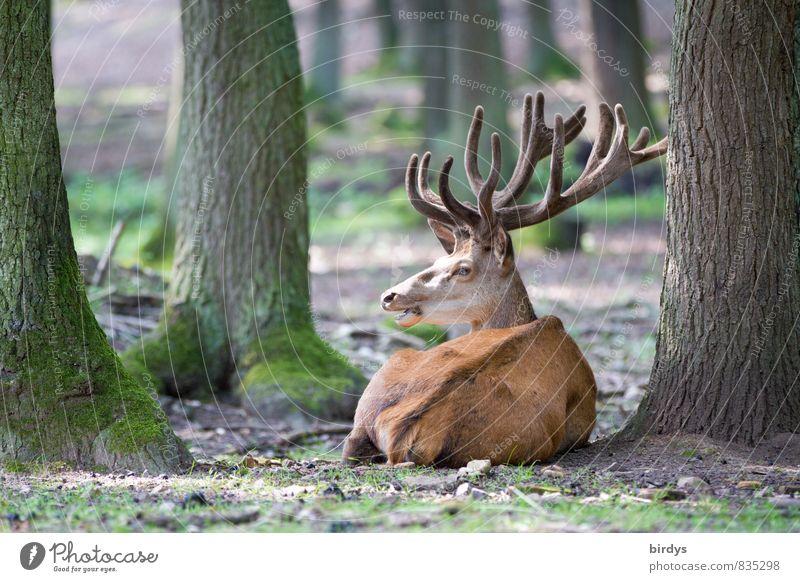 den Hirschen anpirschen Natur Sommer Baum Wald Wildtier Horn 1 Tier beobachten liegen ästhetisch groß natürlich Originalität positiv Wachsamkeit ruhig Frieden